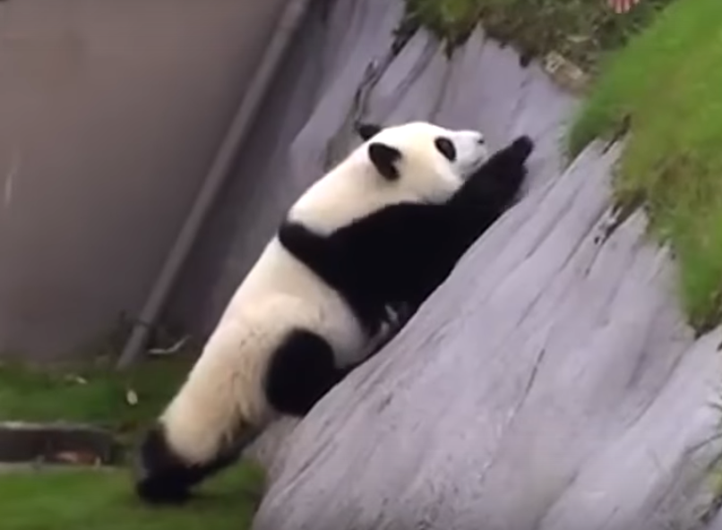 VIDEO%3A+Playful+Panda+Needs+Help+After+Taking+a+Tumble