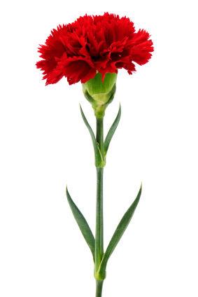 NHS Carnation Sale